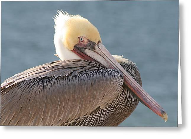 Sitting Pretty Pelican Greeting Card by Bob and Jan Shriner