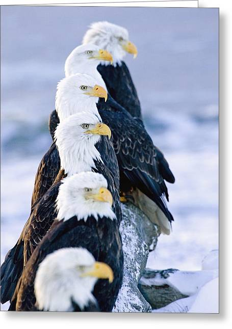 Six Bald Eagles Perched In A Row On Greeting Card by Don Pitcher