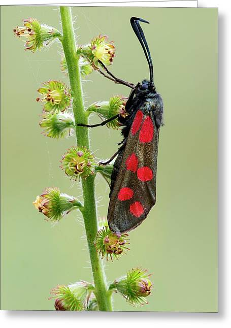 Six Spot Burnet Moth Greeting Card by Heath Mcdonald