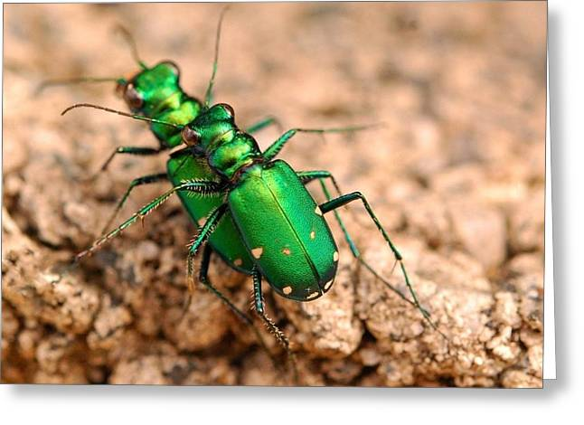 Six-spotted Tiger Beetle Mating Greeting Card by Janet Hawkins