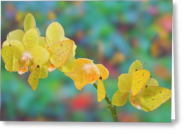 Six Yellow Sulfur Butterfly Hanging Greeting Card