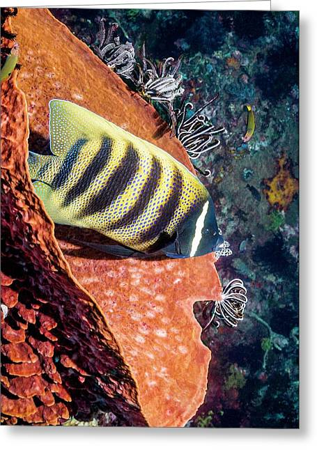 Sixbar Angelfish On A Reef Greeting Card by Georgette Douwma