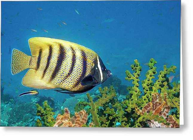 Sixbar Angelfish Over Sun Coral Greeting Card by Georgette Douwma