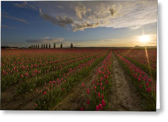 Skagit Tulip Fields Sunset Greeting Card by Mike Reid
