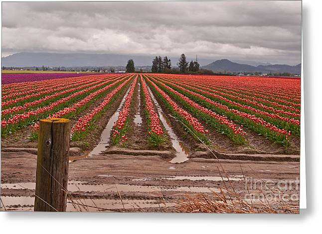 Greeting Card featuring the photograph Skagit Valley Tulip Farmlands In Spring Storm Art Prints by Valerie Garner
