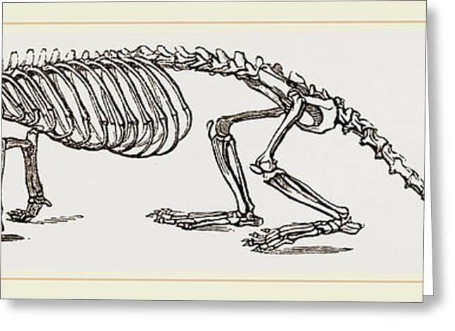 Skeleton Of European River-otter Greeting Card
