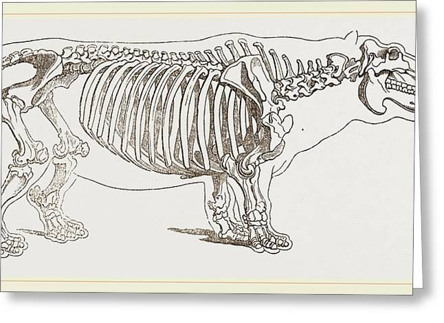 Skeleton Of Hippopotamus Greeting Card by Litz Collection