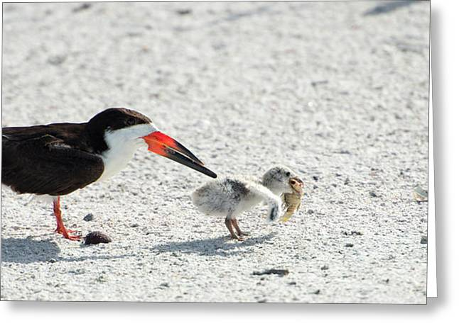 Skimmer Chick Carrying Fish Greeting Card