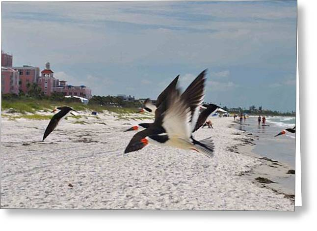 Black Skimmers At Don Cesar Greeting Card