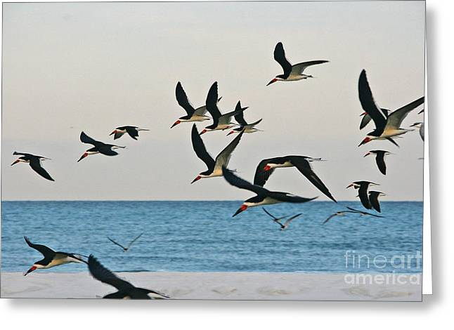 Skimmers Flying Greeting Card by Joan McArthur