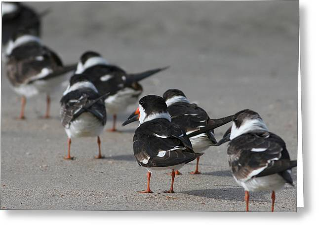 Skimmers On Parade Greeting Card