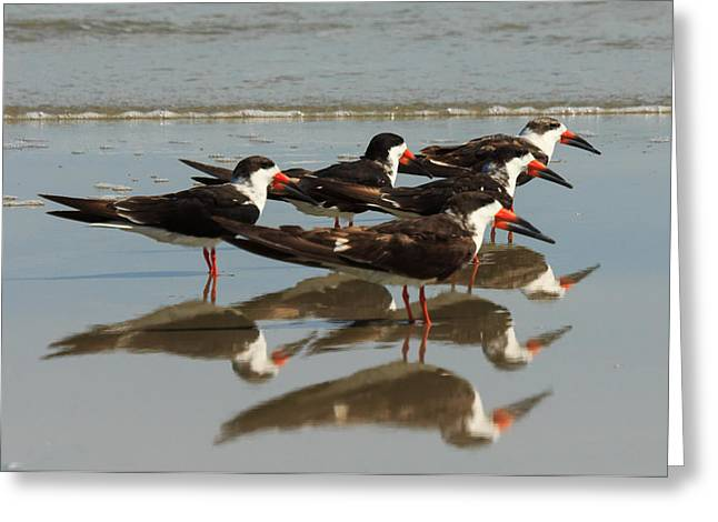 Skimmers With Reflection Greeting Card by Patricia Schaefer