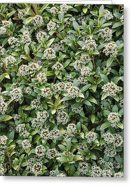 Skimmia Japonica 'humpty Dumpty' Greeting Card by Geoff Kidd