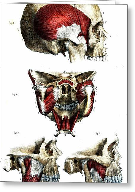 Skull Anatomy Greeting Card by Collection Abecasis