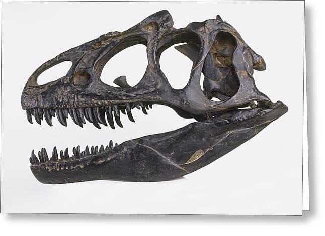 Skull Of Allosaurus Greeting Card by Dorling Kindersley/uig