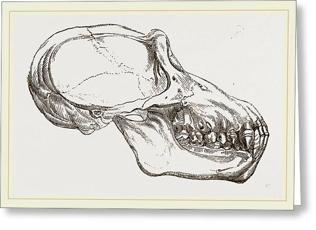 Skull Of Chimpanzee Greeting Card by Litz Collection