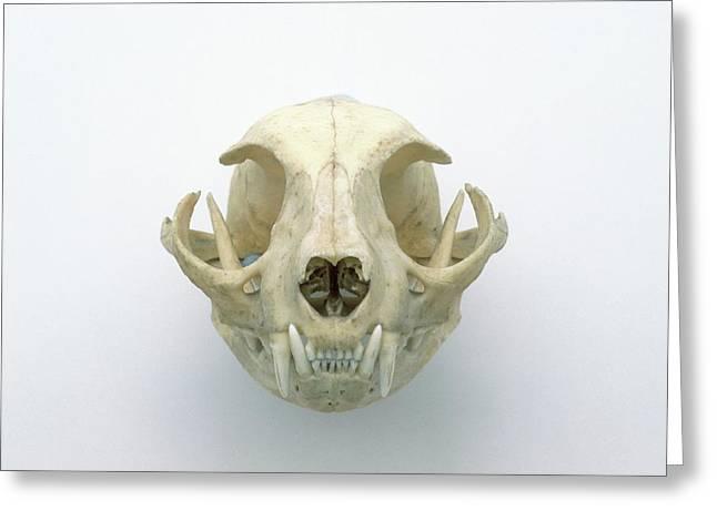 Skull Of Domestic Cat Greeting Card by Dorling Kindersley/uig