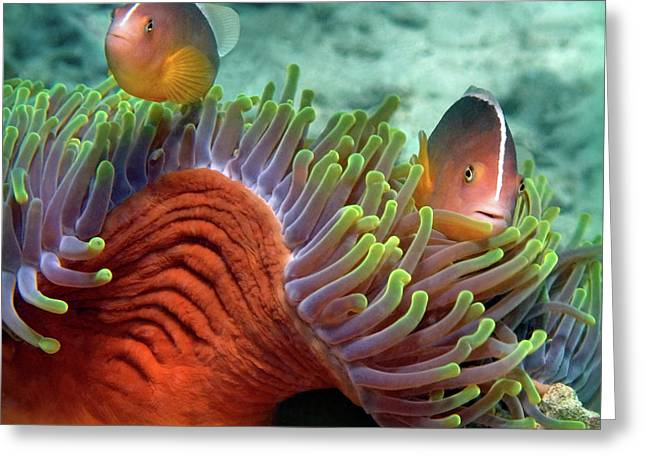 Skunk Anemonefish And Indian Bulb Greeting Card by Panoramic Images