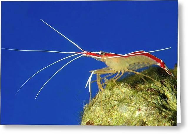 Skunk Cleaner Shrimp Greeting Card by Nigel Downer