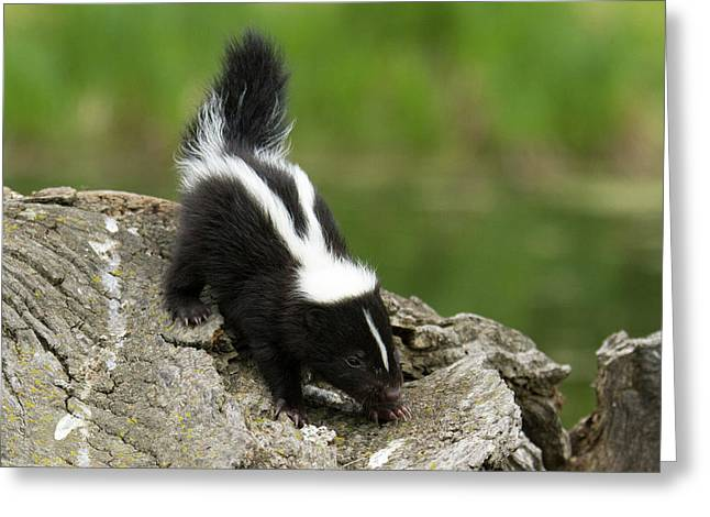 Skunk Kit Mephitis Mephitis On A Log Greeting Card