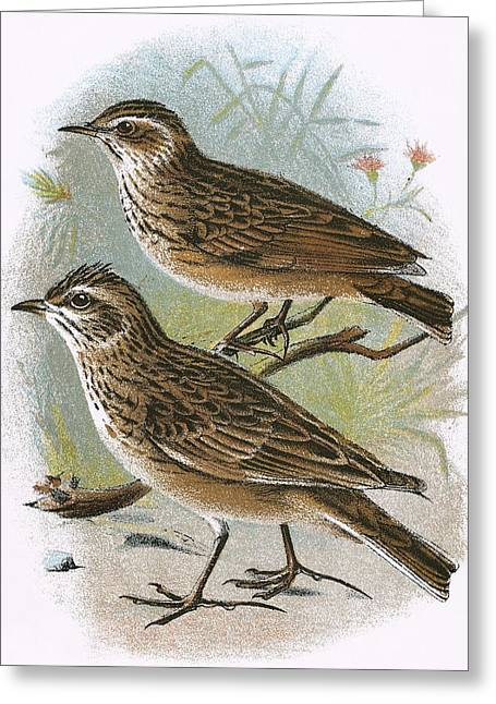 Sky-lark Bottom And Wood-lark Top Greeting Card