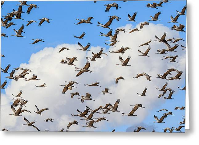 Skyful Of Cranes Greeting Card by Beverly Parks