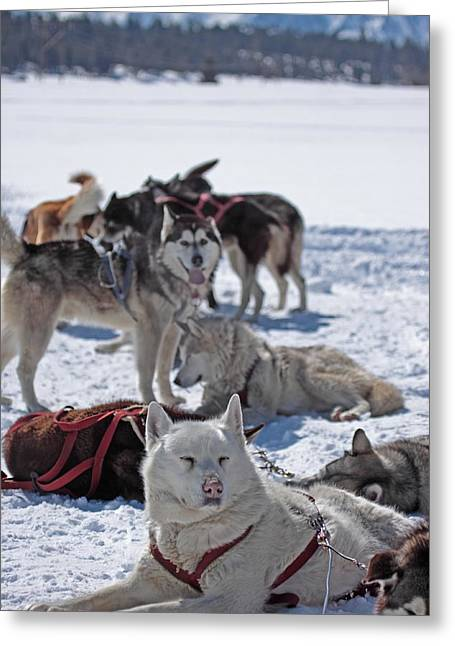 Sled Dogs Greeting Card by Duncan Selby