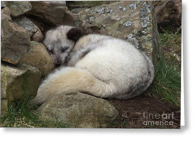 Sleeping Arctic Fox Greeting Card