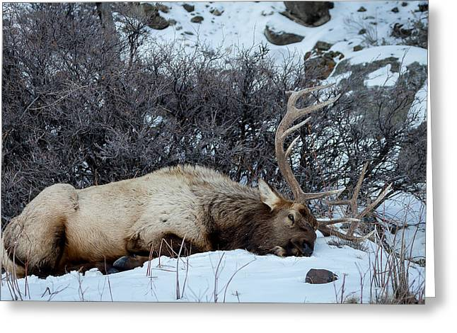 Sleeping Elk Greeting Card