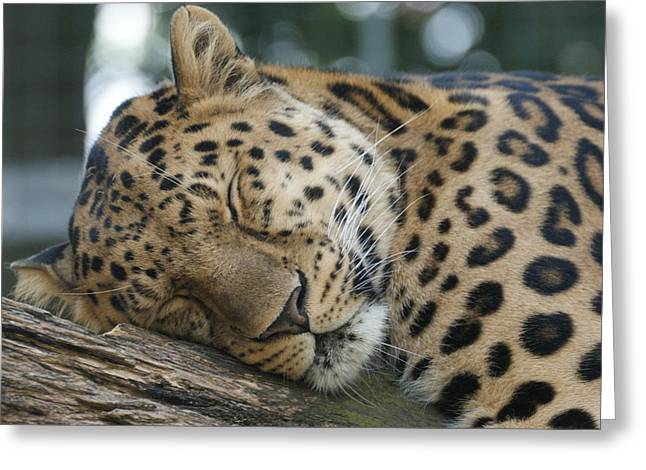 Sleeping Leopard Greeting Card by Chris Boulton