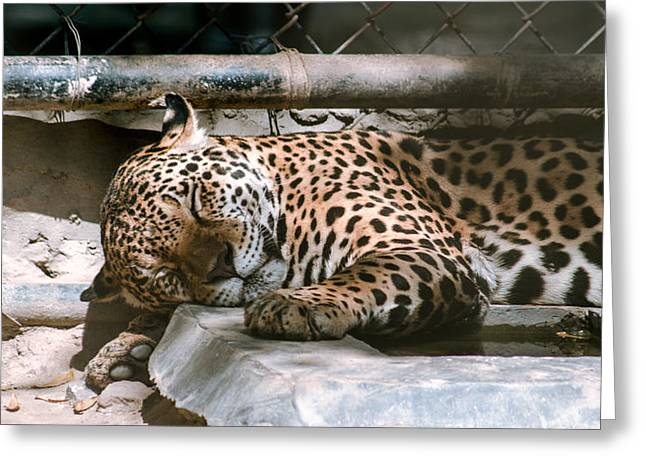 Sleeping Leopard Greeting Card by Gautam Gupta