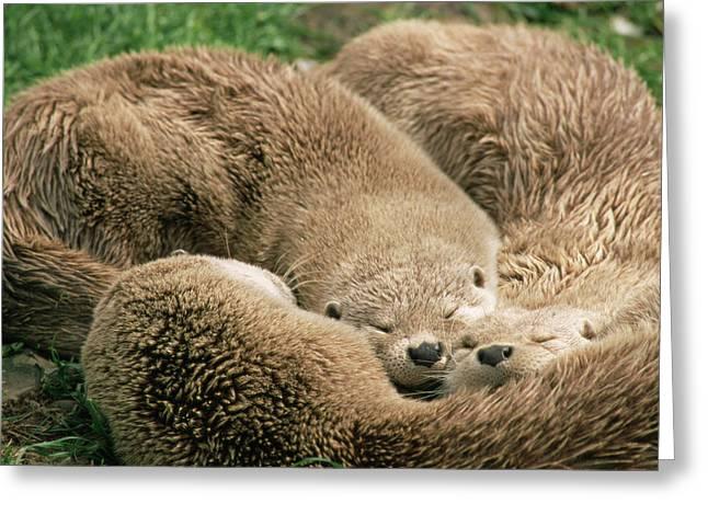 Sleeping Otters Greeting Card