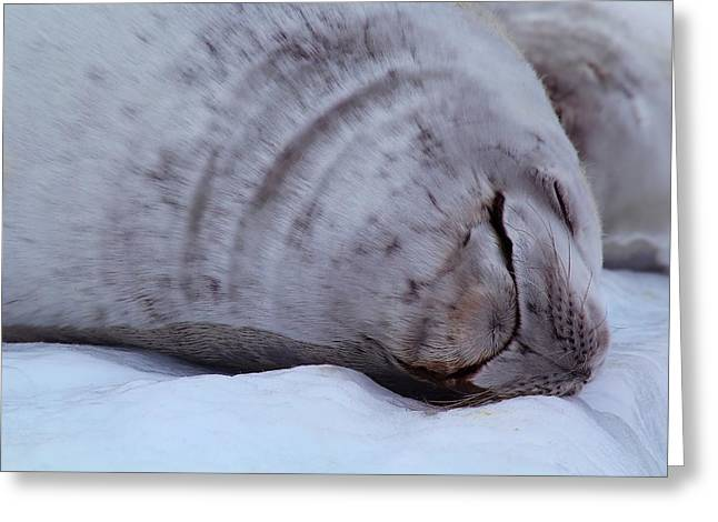 Sleeping Seal Greeting Card by FireFlux Studios