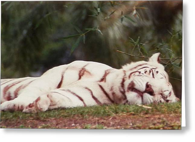 Sleeping White Snow Tiger Greeting Card