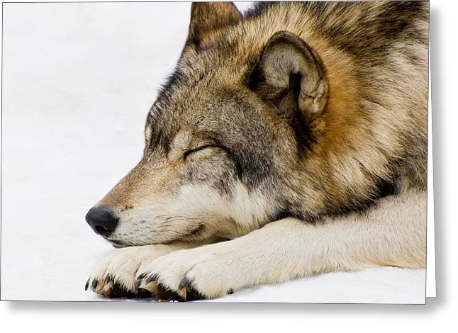 Sleeping Wolf Greeting Card