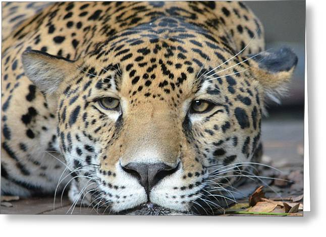 Sleepy Jaguar Greeting Card