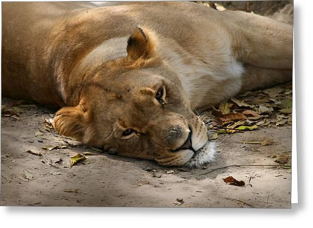 Sleepy Lioness Greeting Card