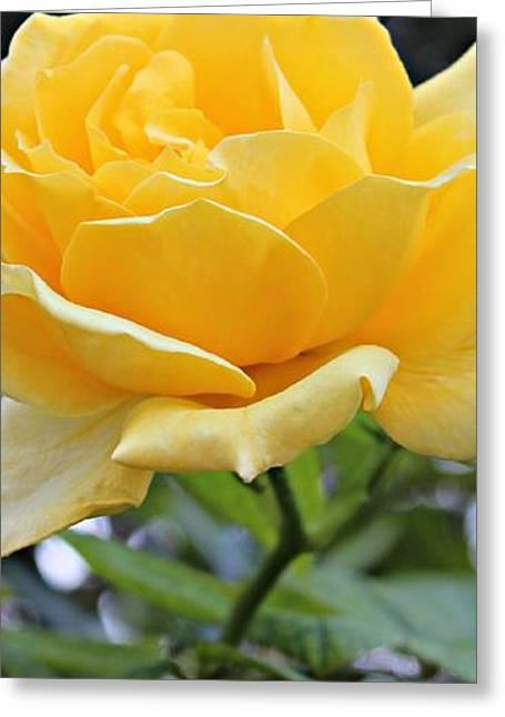 Slim Rose Greeting Card