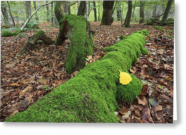 Slime Mold With Moss In Beech Forest Greeting Card