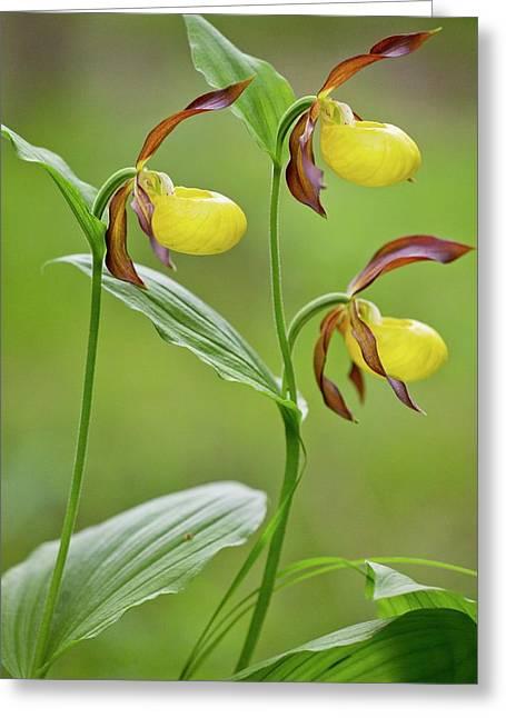 Slipper Orchid (cypripedium Calceolus) Greeting Card by Bob Gibbons