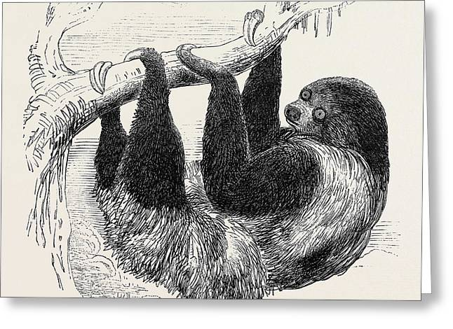 Sloth At The Zoological Gardens Greeting Card by English School