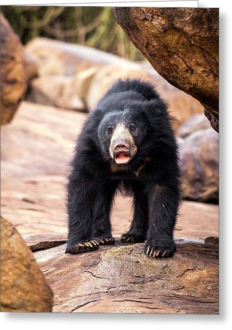 Sloth Bear Greeting Card by Paul Williams