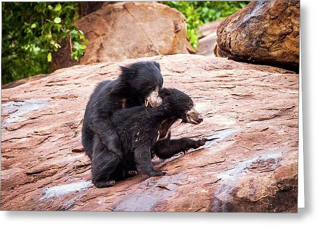 Sloth Bears Play-fighting Greeting Card by Paul Williams