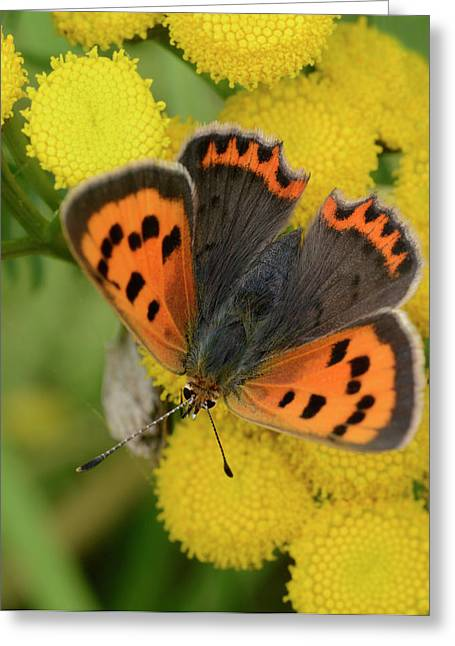Small Copper Butterfly Greeting Card by Nigel Downer