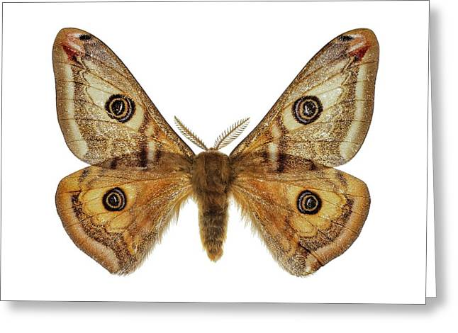 Small Emperor Moth Greeting Card by F. Martinez Clavel