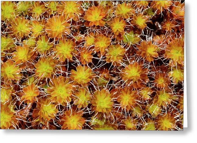 Small Hairy Screw Moss Greeting Card by Nigel Downer