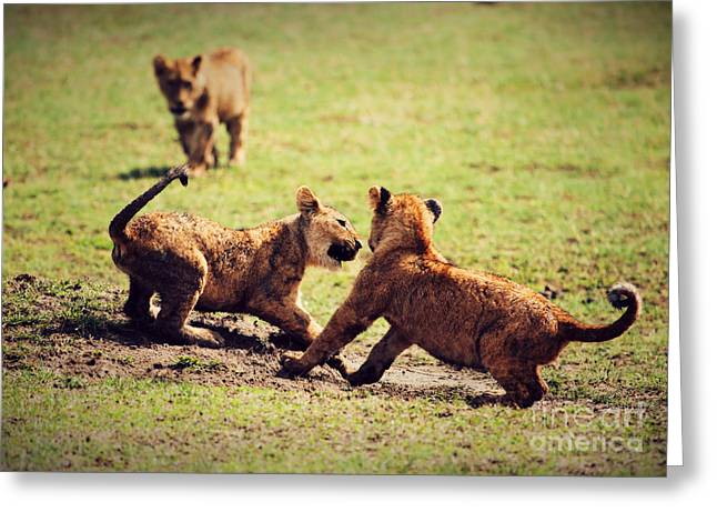 Small Lion Cubs Playing. Tanzania Greeting Card by Michal Bednarek