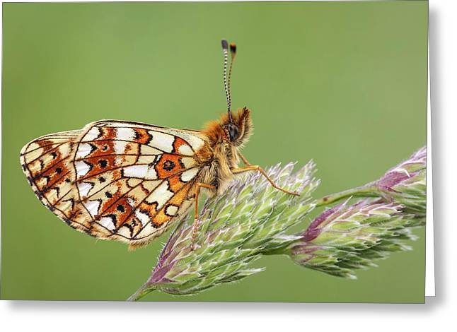 Small Pearl Bordered Fritillary Greeting Card