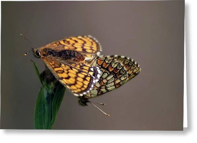 Small Pearl-bordered Fritillary Mating Greeting Card by Heiti Paves