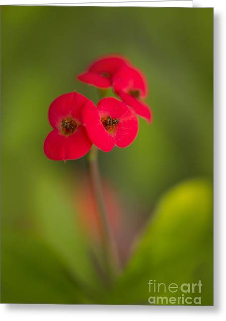 Small Red Flowers With Blurry Background Greeting Card